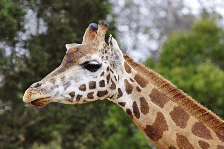 Giraffe08_-_melbourne_zoo