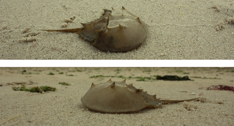 horseshoe_crab