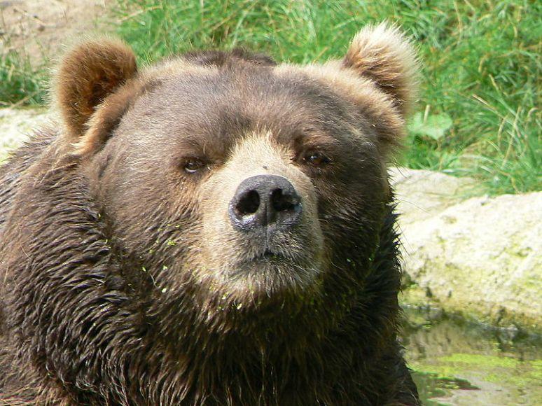 kodiak_bear