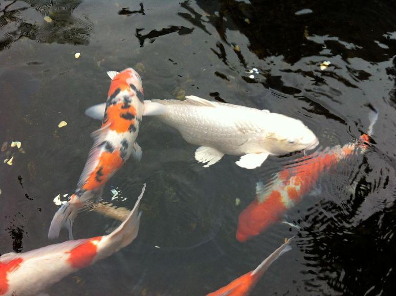 Koi_Fish