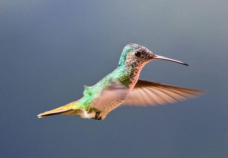 800px-Colibrí_Cola_de_Oro_(Golden-tailed_Sapphire_Hummingbird)_Bigger_File